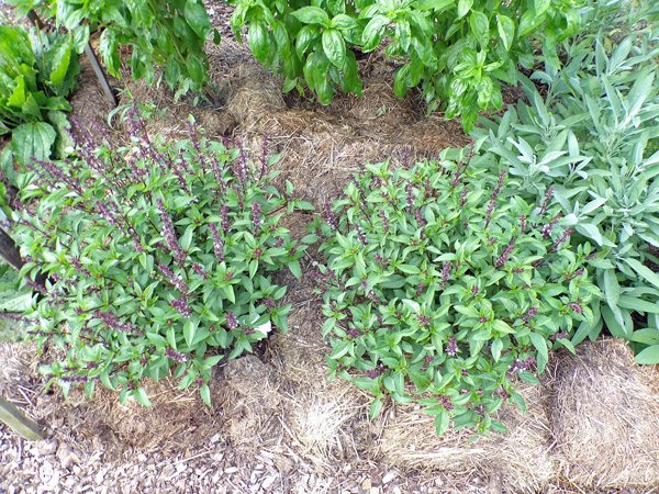 New Herb  Row 5, Thai basil crop July 2020.jpg