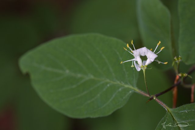 AlphabetHunt F - Flowering Fly Honeysuckle