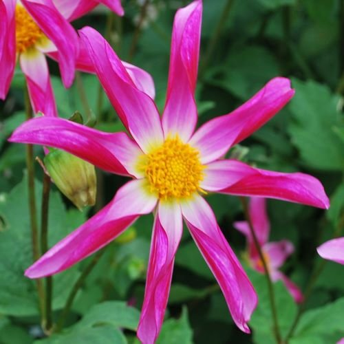 Dahlia Honka Rose.jpg
