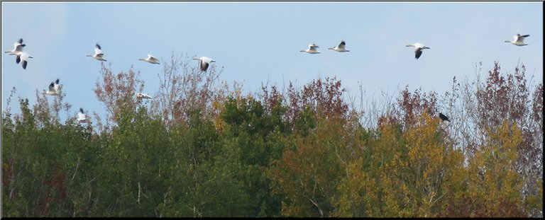 line of snow geese flying over fall colored trees.JPG