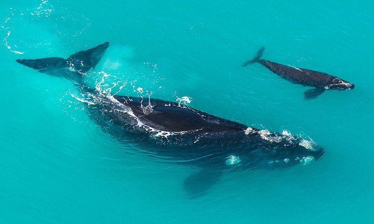 southern-right-whale.jpg