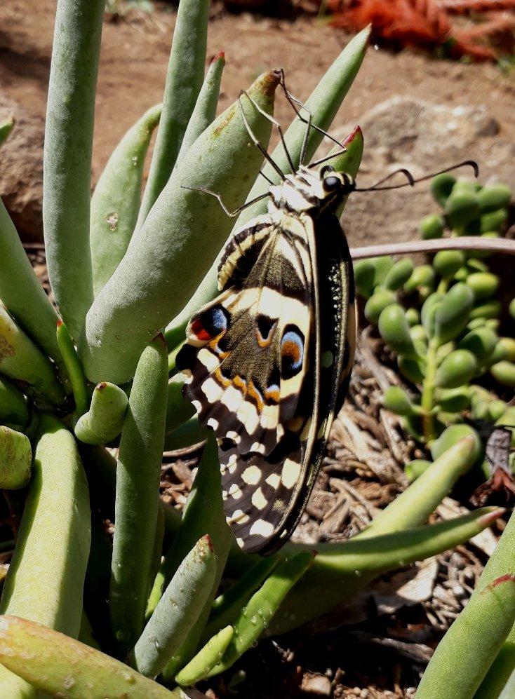 citrus swallowtail.jpg