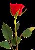 rose3160075_1280.png
