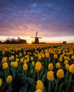 Tulips season in the Netherlands! My first post trough the truvvl app 🥳