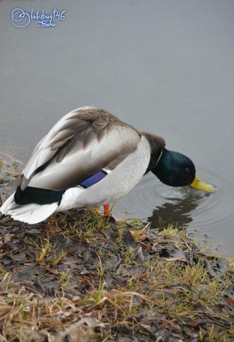 duck10.jpg