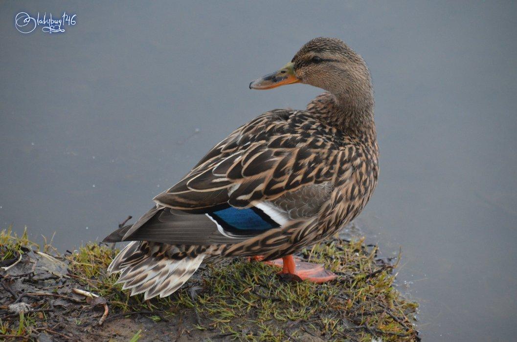 duck11.jpg