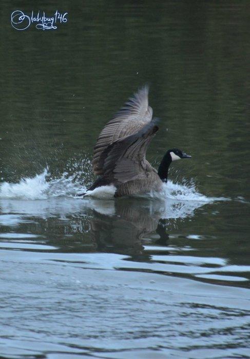geese5.jpg