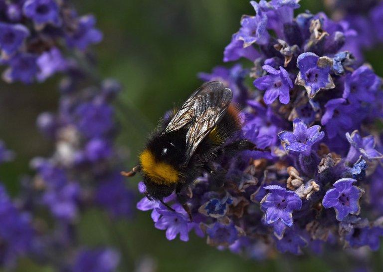 Bumblebee lavender macro 3.jpg