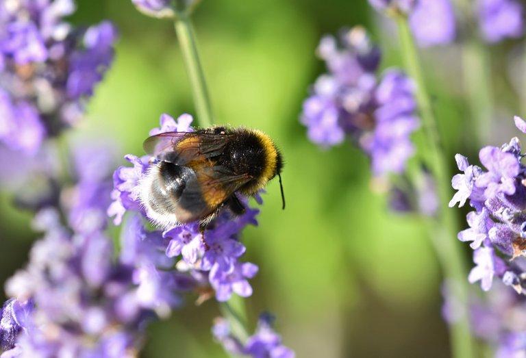 Bumblebee lavender macro 1.jpg