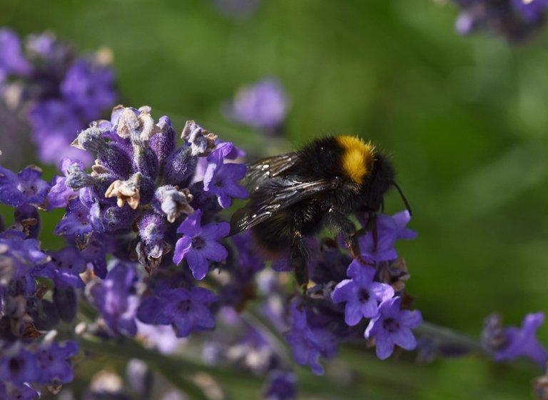 Bumblebee lavender macro 4.jpg