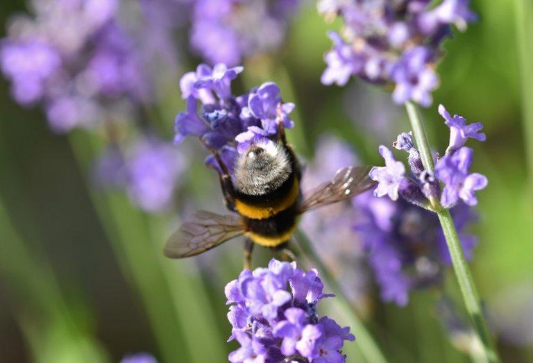 Bumblebee lavender macro 2.jpg