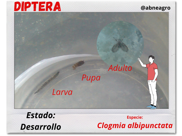 Diptera 6.png