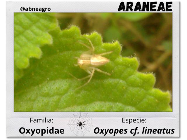 Araneae 3.png