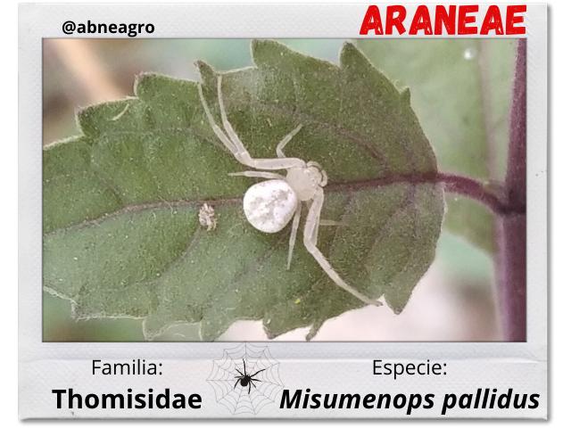 Araneae 5.png