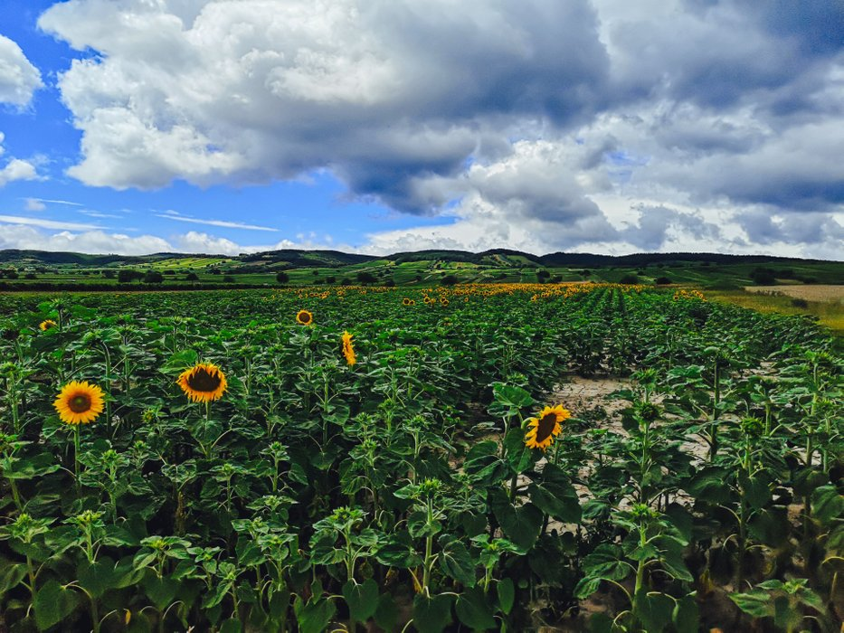 Sunflowers color Burgenland during the mid-summer. Photo by Alis Monte [CC BY-SA 4.0], via Connecting the Dots