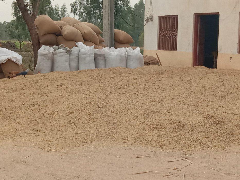 rice shape after harvesting#29
