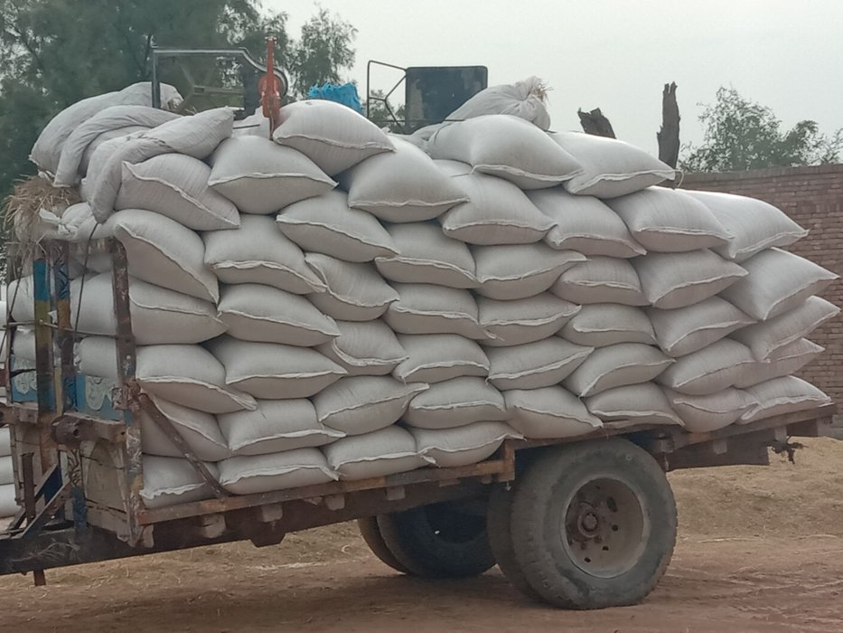 rice shape after harvesting#30