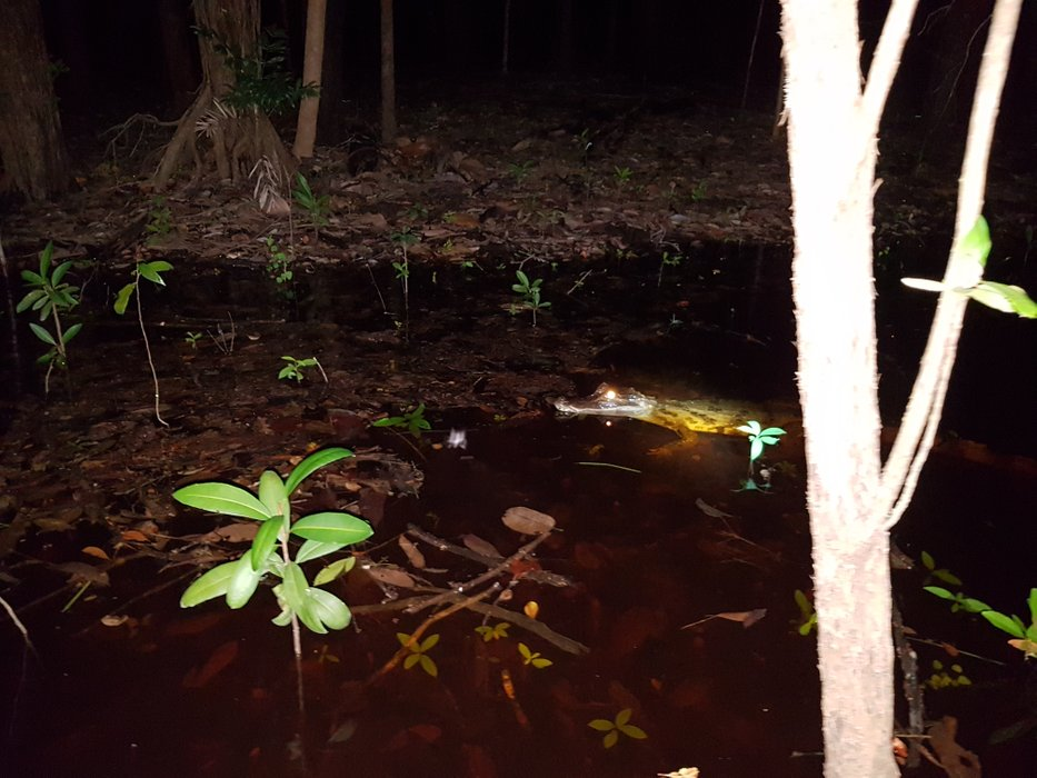 A small caiman, easily found at night time because the light reflection of its eyes