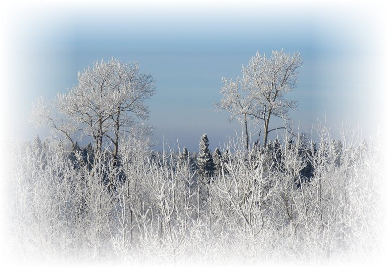 2 trees with hoarfrost stand out on horizon with other frosted trees.JPG