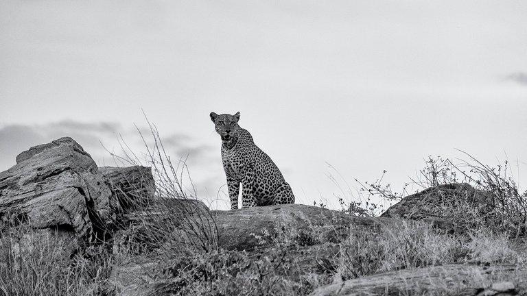 Samburu Leopard.jpg