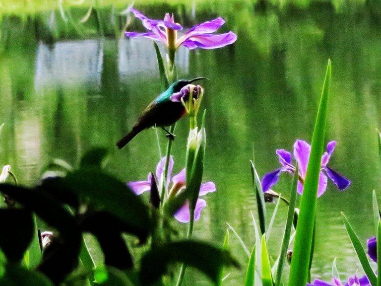 4917-Sunbird_Lily.jpg