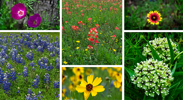 Texas-wildflowers.png