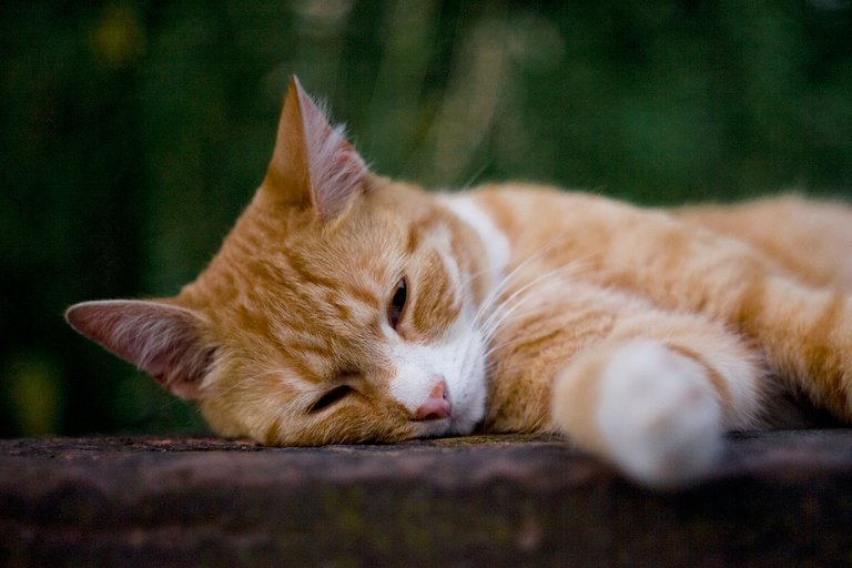 random red cat sleeping on a wednesday for caturday by fraenk