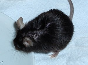 Black mouse drinking Wualex public.jpg