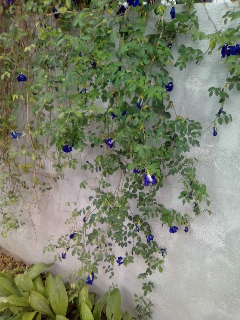 plant blue ternate in our fence.jpg