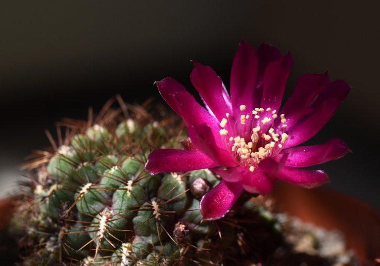 Sulcorebutia frankiana flower 2020 8.jpg