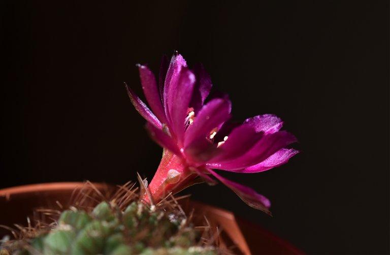 Sulcorebutia frankiana flower 2020 4.jpg