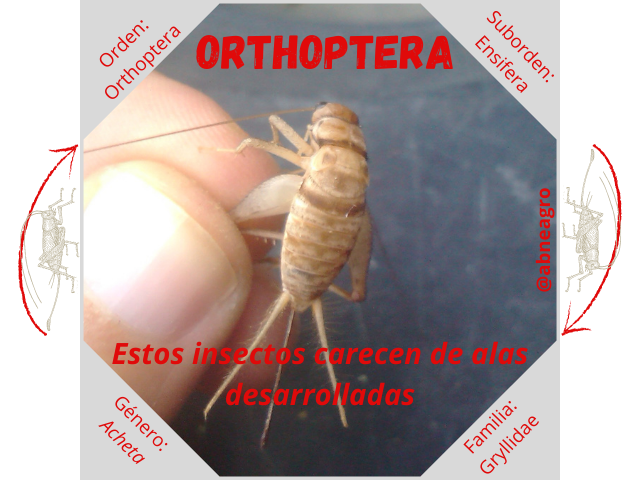 Orden Orthoptera 3.png