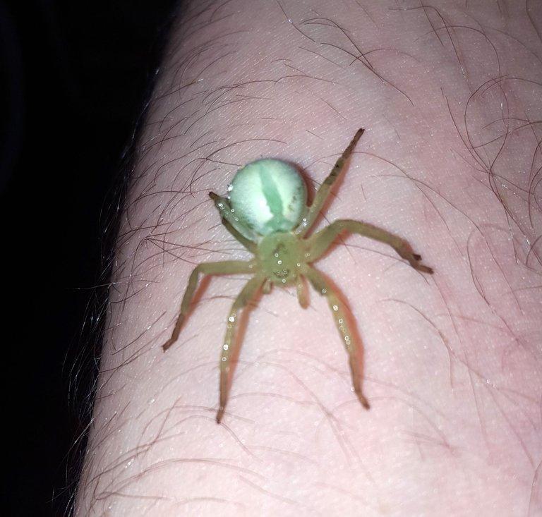Small Green Spider.jpg