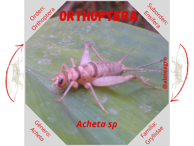 Orden Orthoptera 2.png