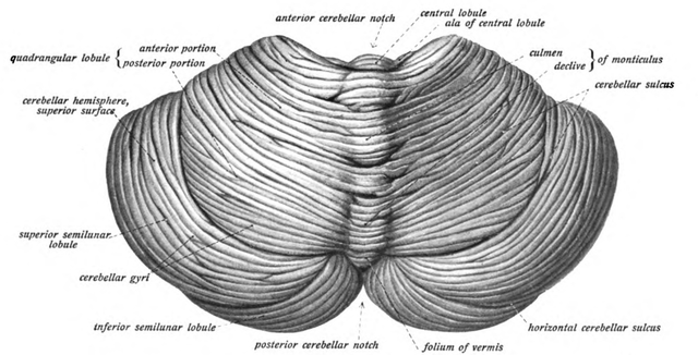 View of the cerebellum from above and behind